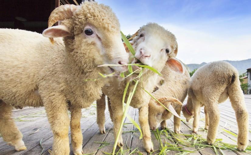 Lâna merino – ce este și de ce este indicată îmbrăcămintea din lână merino?